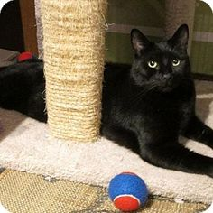 HILLSBORO, OR - Domestic Shorthair. Meet Jasper - Big Hunk of Love, a cat for adoption. http://www.adoptapet.com/pet/14745245-hillsboro-oregon-cat