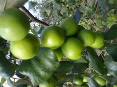 Are you in need of apple ber plants and effective gardening tips so that you can reap the benefits soon? Check out Shabnam Nursery. Get easy delivery, gardening info guide and maintenance.