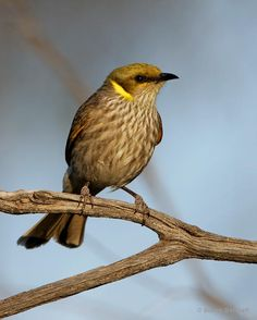 The Yellow-plumed Honeyeater - Lichenostomus ornatus, is endemic to southern mainland Australia, from western New South Wales and Victoria, through South Australia, to south-west Western Australia.  Photo by Simon Bennett.@@