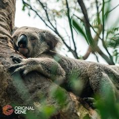 virus cute Lazy and cute, koalas are also hugely important to science and humanity. There is a Koala Virus which can help us understand more about how a virus can evade the immune defenses, and find a new home in our genomes. Dna Facts, Lazy, Science, Bear, The Originals, Cute, Animals, Koalas, Animales