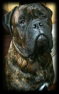 beautiful brindle #mastiff