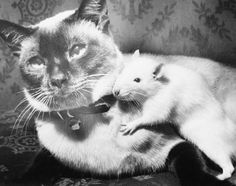 Cat and rat may well be a disgrace to their species because of their love for one another, but their owners, the William Falk family of Salem, Oregon point to them as an example of good training, Sept. 5, 1961. They even eat and sleep together.