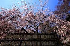大石神社の華やかな大石桜