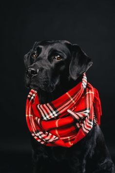 Mind Blowing Facts About Labrador Retrievers And Ideas. Amazing Facts About Labrador Retrievers And Ideas. Labrador Retrievers, Golden Retriever, Black Labs, Black Labrador, Labrador Golden, Bull Terriers, Big Dogs, Dogs And Puppies, Doggies