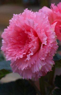 http://www.lazyduo.com/    Begonia 'Pink Peony':