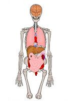 Crapouillotage: Le corps humain : les Organes