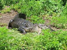 Day #7 - First Alligator spotted @Everglades Safari Park