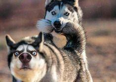 Wonderful All About The Siberian Husky Ideas. Prodigious All About The Siberian Husky Ideas. Cute Husky Puppies, Siberian Husky Puppies, Husky Puppy, Dogs And Puppies, Siberian Huskies, Huskies Puppies, Mini Huskies, Doggies, Cute Funny Animals