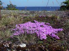 Kangasajuruoho, Thymus serpyllum - Kukkakasvit - LuontoPortti