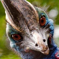 Cassowary - Australia - endangered!!