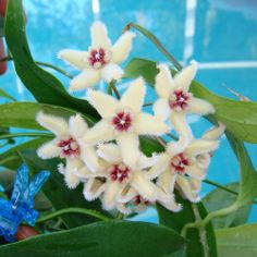 Hoya buotii Cutting SRQ 3015 [3015x] - $10.00 : Buy Hoya Plants Online in Many Species from SRQ Hoyas Today!