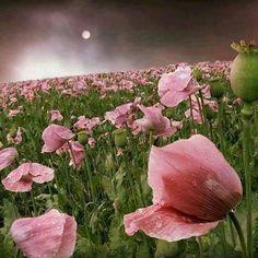 Via @gabriele_corno Gabriele Corno  Pink poppies .... by Veronika Pinke #crossfit #crossfitgirls #crossfitgames #bodybuilding #bodybuildingmotivation #bodybuildinglifestyle #lift #weights #yoga #yogagram #yogapose #running #run #runner #instarun #instarunners #fit #fitness #fitstagram #fitfam #fitspiration #workout #wotd #wod #instafit #exerc #Landscapes #Landscapephotography #Nature #Travel #photography #pictureoftheday #photooftheday #photooftheweek #trending #trendingnow #picoftheday…