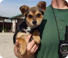 Lathrop, CA - Terrier (Unknown Type, Small)/Chihuahua Mix. Meet Cocoa, a dog for adoption. http://www.adoptapet.com/pet/14900035-lathrop-california-terrier-unknown-type-small-mix