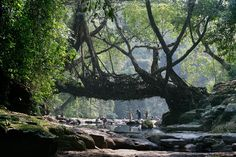 Living Root Bridges of Megahalaya · Maptia