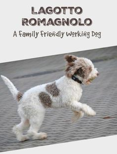 The Lagotto Romagnolo is a working dog that also makes a fantastic family pet. This hypoallergenic dog loves people and other animals with socialized well.