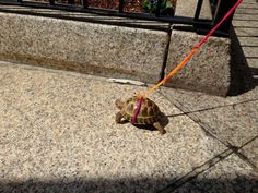 pet tortoise on Clarendon St, Boston. Red Footed Tortoise, Cute Tortoise, Giant Tortoise, Turtle Time, Pet Turtle, Kawaii Turtle, Tortoise Enclosure, Sulcata Tortoise, Red Eared Slider