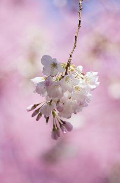 Color of sakura