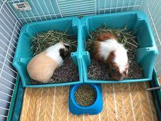 Diy Guinea Pig Cage, Guinea Pig House, Pet Guinea Pigs, Guinea Pig Care, Guinea Pig Supplies, Indoor Rabbit Cage, Pet Plan, Bunny Room, Guniea Pig