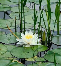 Lotus with Reeds Water Flowers, Water Plants, Water Garden, Lotus Flowers, Garden Pond, Lily Pond, Aquatic Plants, Flower Art, Planting Flowers