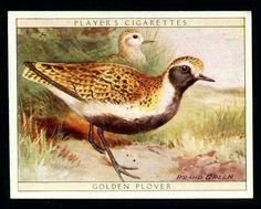 Players, Game Birds & Wild Fowl 1928. No16 Golden Plover