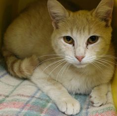 ADOPTED>Intake: 4/21 Available: Now  NAME: Limey  ANIMAL ID: 27631236 BREED: DSH  SEX: Neutered Male  EST. AGE: 2 yrs  Est Weight: 7.15 lbs  Health:  Temperament: Friendly-Really sweet just shy!!  ADDITIONAL INFO:  RESCUE PULL FEE: $39