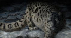 Digital painting of a snow leopard walking along a creek. He stalks silently among the snow covered rocks in search of prey. Digital wildlife painting by award winning…