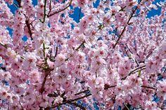 japanese-cherry-trees-2168858_1280.jpg (1280×853) #весна
