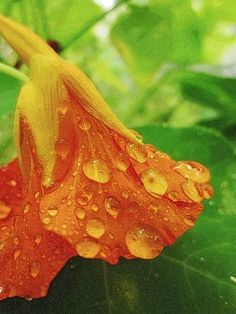 Nasturtium After the Rain