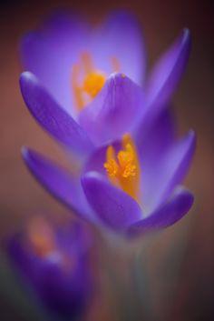 purple crocus smile by Monique Felber on 500px
