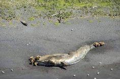 Dode walvissen stellen onderzoekers voor raadsel - Dierenwelzijn - TROUW