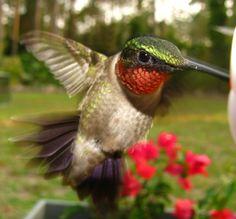 A blur of color: must be a Hummingbird! Birds in Palm Coast, Flagler Beach, Florida
