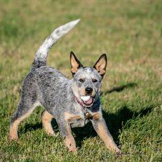 Blue Australian Cattle Dog Puppy