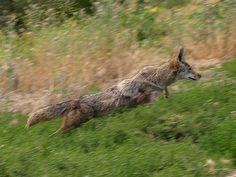 Wild coyote action shot! Amazing | Animals Zone