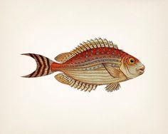 Unique 1801 colorful fish drawing - 8x10 Fine art print of a vintage natural history antique illustration