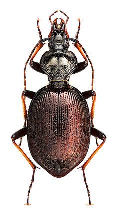 Cychrus attenuatus CARABIDAE Subfamily CARABINAE