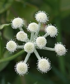 """Sphenosciadium capitellatum """"Ranger's Buttons"""" """"3'-5' tall with stout, erect stems, bearing several large (4"""" across) umbels made of very compact tiny white flowers that look like """"buttons"""" at the ends of hairy branches, which change from pinky purple in bud to pure white, then fade to purplish. [Attracts bees and butterflies] Valued for its late Summer bloom period, regular garden watering should be fine."""""""