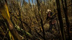 New York Times: May 9, 2014 - Kidney disease that has killed 20,000 has Nicaragua stymied - and scared