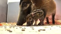 Cute and curious, two baby hoglets have made their pubic debut, capturing hearts around the world. Red River Hog, Cute Babies, Birth, November, Animals, Instagram, Animales, Animaux, Funny Babies