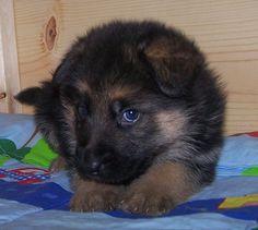 Female German Shepherd Puppies 4 Week
