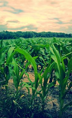 Knee high by the 4th of July