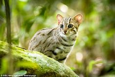 The extremely rare cat weighs just one kilogram - which is 200 times smaller than a lion, yet it is just as predatory - Tap the link now to see all of our cool cat collections! Rare Animals, Happy Animals, Cute Baby Animals, Rare Cats, Exotic Cats, Small Wild Cats, Small Cat, Funny Cats And Dogs, Big Cats