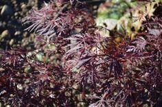 Acer palmatum 'Stella Rossa' Blätter (Japanischer Ahorn, Fächerahorn)