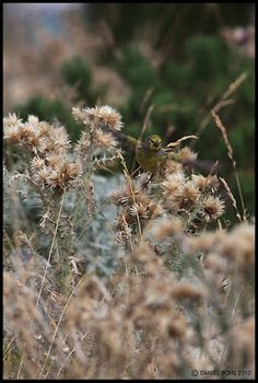 PHOTOGRAPHIES: Venturon montagnard - Serinus citrinellaRéserve na...