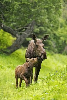Moose Calf Nuzzling Mom In The Rain