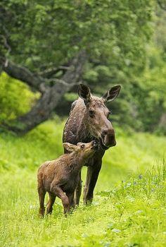 Moose Calf Nuzzling Mom in the Rain
