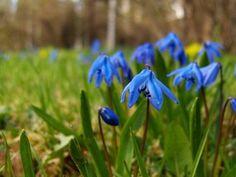 Где и когда растут и цветут подснежники (фото)