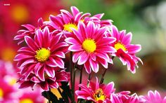 Gambar Bunga Krisan Merah Yang Cantik