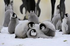 Emperor Penguin Colony Group Of Chicks. Penguins And Polar Bears, Baby Penguins, Nature Animals, Animals And Pets, Cute Baby Animals, Funny Animals, Penguin Love, Cute Creatures, Animal Photography