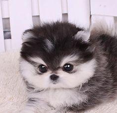 Micro Husky Teacup   Teacup Shih Tzu Puppies for Sale