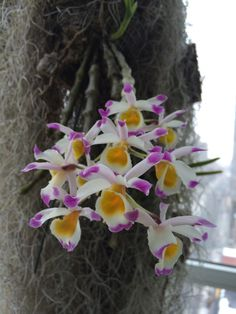 Dendrobium pendulum - Orchid Board - Most Complete Orchid Forum on the web !